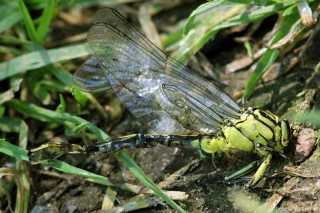 Gomphus flavipes- Unfall -