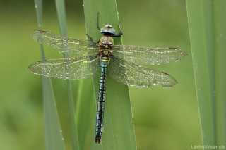 Anax imperator - male - Anisoptera