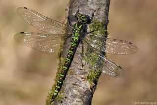 Aeshna cyanea / eine unserer häufigsten Edellibelle (Aeshnidae)