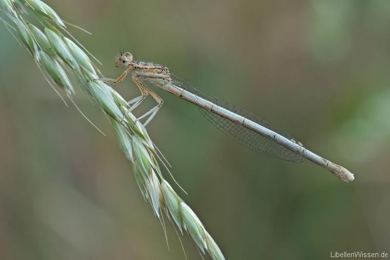 Weiße Libelle
