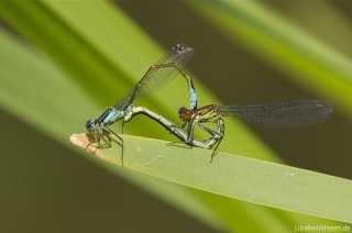 copula Ischnura elegans with Erythromma najas /by Marc Hirt from Kassel