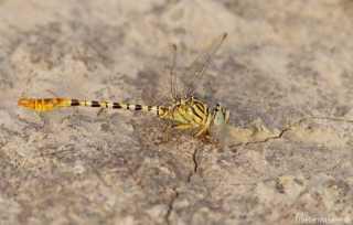 Onychogomphus flexuosus - male / by Paul Cools