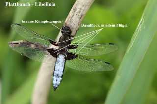 Libellula depressa_4 basalflecken