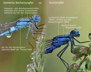 Artbestimmung Becherjungfer vs. Azurjungfer