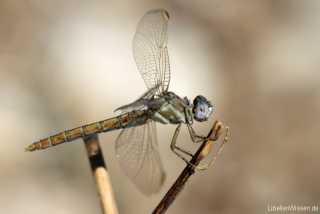 Orthetrum nitidinerve - female / co. by Sylvia Schulz_