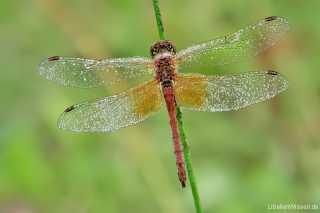 Sympetrum flaveolum - male 02