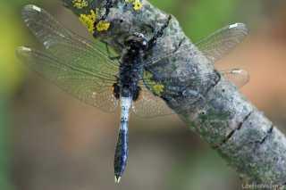 Leucorrhinia caudalis
