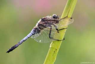 Orthetrum cancellatum - male - (our biggest Libellulidae)