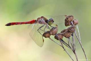 Sympetrum depressiusculum-male