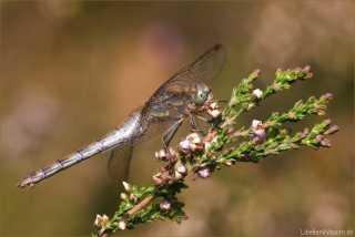Sympetrum striolatum - female