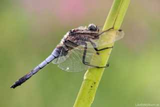 Orthetrum cancellatum - male - (our biggest Libellulidae)