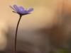 Anemone hepatica_img_5450