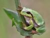 Hyla arborea -Schorfheide