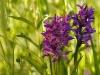 Dactylorhiza majalis - Orchidee_img_2592