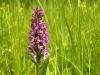 Dactylorhiza majalis - Orchidee_img_2629