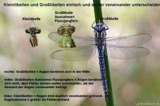 Augenabstand als Bestimmungsmerkmal: Grosslibellen-Kleinlibellen-Flussjungfer