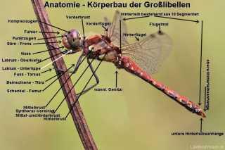 Ansioptera Graphik zur Anatomie der Libellen