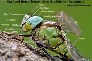 Grosslibelle - Koerperbau ,Kopf und Thorax