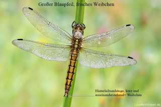 Orthetrum cancellatum - female libellen bestimmen, Geschlechtsmerkmal