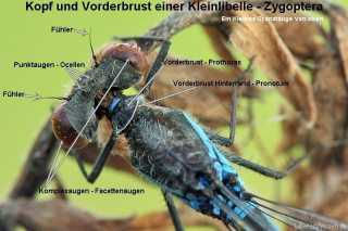 Körperbau: Kopf, Thorax Pronotum, Prothorax, Punktaugenkleinlibelle