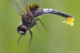 Leucorrhinia caudalis - homöochromes Weibchen_noteiablage_mg_