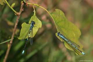 Coenagrion puella und Coenagrion pulchellum. 2 Arten der gleichen Gattung