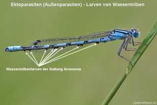 Wassermilbenlarven der Gattung Arrenurus am Abdomen eines Enallagma cyathigerum Männchens