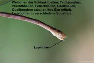 Legebohrer (Ovipositor) einer Kleinlibelle