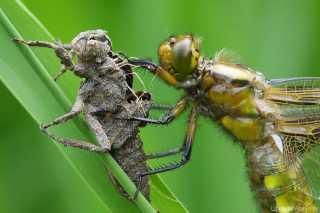 Libellula depressa Weibchen , die eigene Exuvie fest umklammert