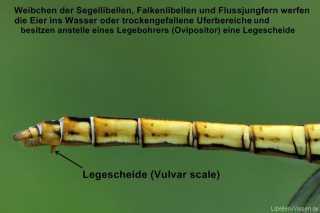 Weibchen der Segellibellen, Falkenlibellen, und Flussjungfern besitzen eine Legescheide (Vulvar scale)