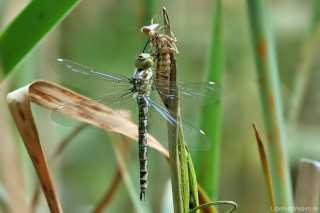 Aeshna cyanea weiblich - frisch geschlüpft