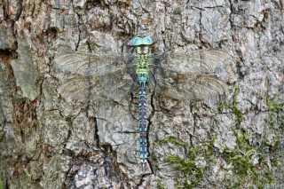 Aeshna viridis male _oben_img_3