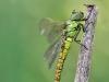 Aeshna affinis - female immature