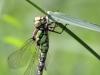 Aeshna cyanea - female - andromorph_IMG_02230