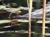 Aeshna grandis - female ovipositing 2