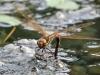 Aeshna grandis - female ovipositing 1