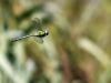 Aeshna viridis - male