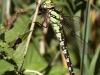 Aeshna cyanea - female andromorph _IMG_2232