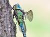 Aeshna viridis male_hf_img_349
