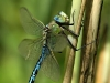 Anax imperator - male _img_8570
