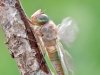 Anax parthenope - fresh female