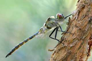 Somatochlora flavomaculata - male - juvenil _img_7396