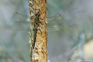 Somatochlora flavomaculata - male - juvenil _img_7407