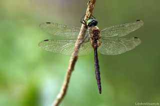 Somatochlora flavomaculata - male - Großlibelle - Anisoptera
