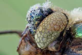 Cordulia aenea - das Komplexauge einer Großlibelle besteht aus bis zu 30000 Ommatidien