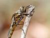 Epitheca bimaculata - female_ lateral_img_3553