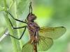 Epitheca bimaculata - male - immature