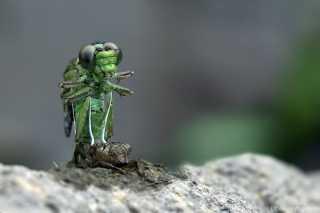 Ophiogomphus cecilia - wie ein Alien