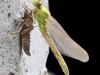 Ophiogomphus cecilia - female at a bridge pillar_IMG_2090