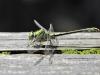 Ophiogomphus cecilia - male_IMG_2254